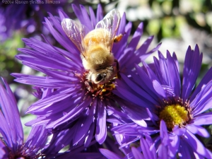10:6:14 golden aster bee 1 sig