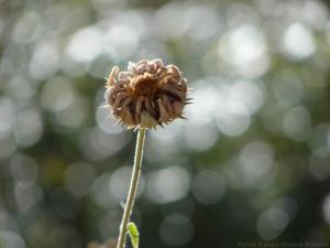 11:15:14 calendula seed head sig