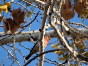 11:16:14 house finch sig