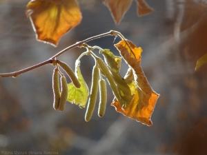 11:24:14 leaf catkins sig
