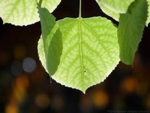 11:4:14 leaf sig
