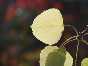 11:4:14 side leaf sig