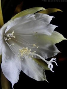 1:2:15 pollen s v sig