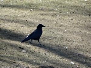 2:19:15 crow walking sig