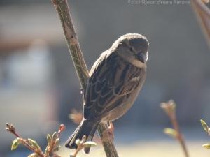 2:24:15 nice female sparrow sig