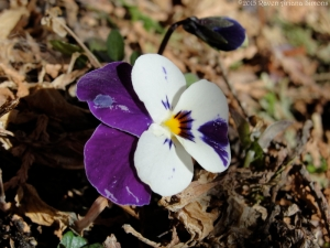 First viola of the season on 2/25/15.
