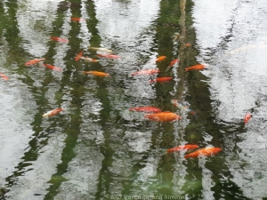 3:15:15 koi and reflections 1 sig