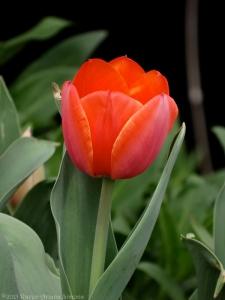 3:22:15 a tulip 1 v sig