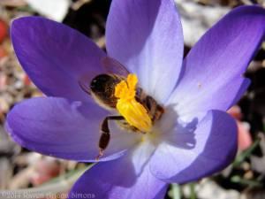 Honeybee in crocus on 3/1/14.