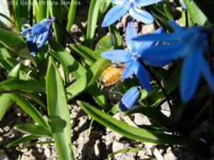 Honeybee gathering blue pollen from Siberian squill on 3/14/15.