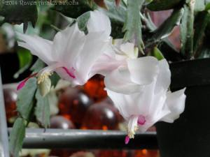 Christmas cactus re-blooming on 3/15/14.
