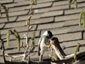 Chickadee on 3/19/14.