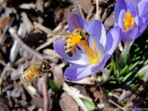 Honeybees collecting crocus pollen on 3/2/14.