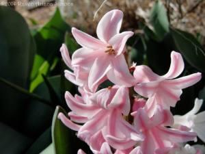 Pink hyacinth on 3/22/2014.