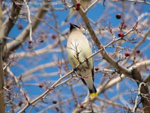 Cedar waxwing on 3/7/14.