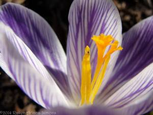 Crocus on 3/8/14.