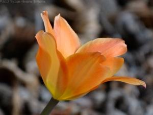 3:31:15 tulip sig