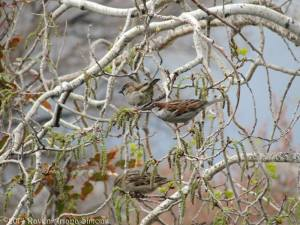 Sparrows eating aspen catkins on 3/26/14.