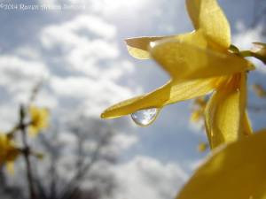 Drops captured on forsythia on 3/27/14.
