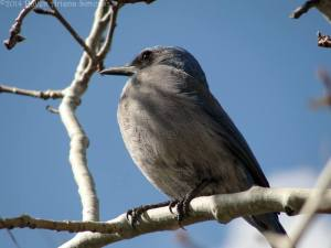 Scrub jay on aspen on 3/28/14.