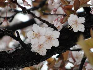 Plum blossoms on a very old tree on 3/30/14.