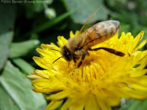 Honeybee enjoying the early spring nectar and pollen of dandelion on 3/31/14.