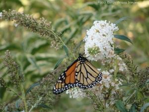 10:1:15 monarch farther sig