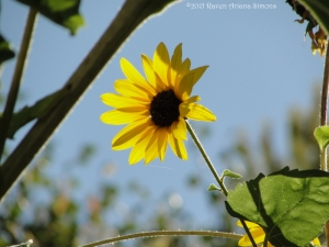 10:2:15 sunflower sig
