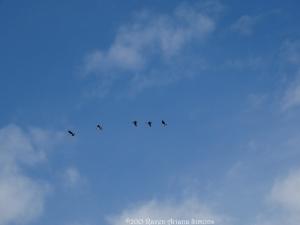 10:5:15 L geese 1 sig