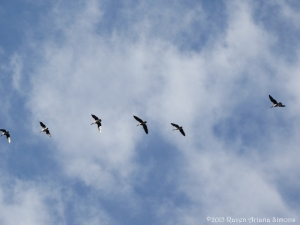 10:5:15 L geese sig