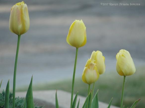 DSC08105 tulips sig