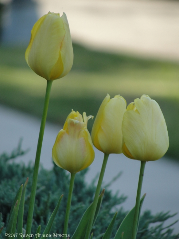 DSC08111 tulips v sig