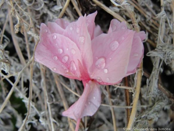 DSC08155 pink drops sm sig